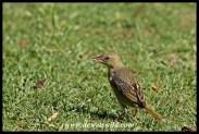Cape weaver (female)