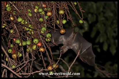 Fruit bat visiting the wild figs