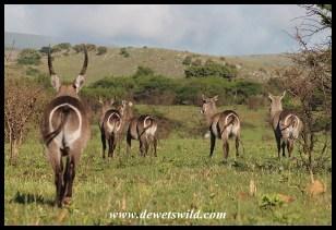 Waterbuck herd on the move