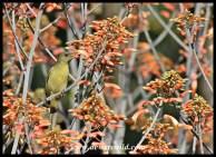 Olive sunbird