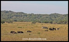 Wildlife abounds in the game park next to the Crocodile Centre, this is a mixed herd of blue wildebeest and plains zebra