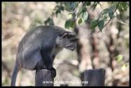 Samango Monkey in Hilltop Camp