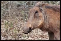 Warthog sow