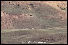 Eland on the slope of Dooley Mountain