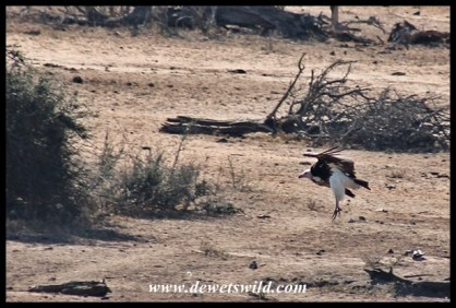 White-headed vulture coming in for a landing