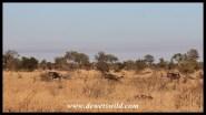 Blue wildebeest on the run