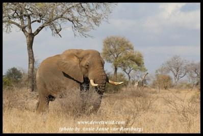 Big elephant bull just outside Satara
