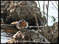 Wet Cape Robin-Chat