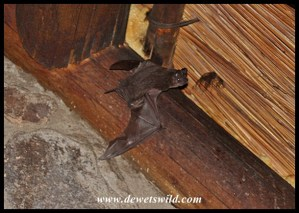 Egyptian Free-tailed Bat leaving the roost