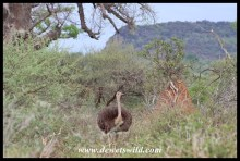 Common Ostrich in northern Kruger