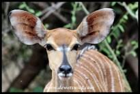 Nyala female