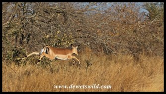 Impalas are very athletic