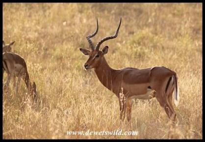 Impala ram in prime condition