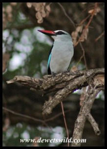 Woodland Kingfisher - the sound of summer!