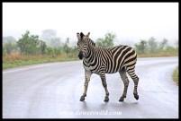Zebra crossing a very wet road