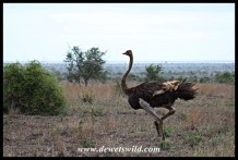 Ostrich female being blown all over the place by the strong wind