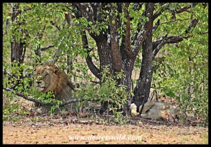 More mating lions