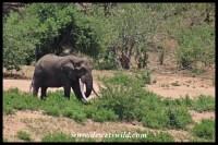 Big old tusker