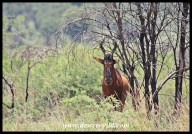 Red hartbeest