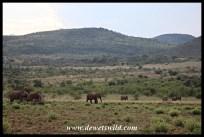 Elephant herd on the move near Bakubung