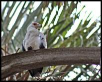 Palm-nut vulture close-up