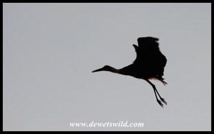 Woolly-necked stork taking flight