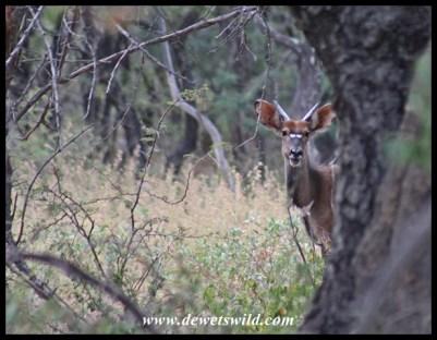 Young nyala bull near the hide