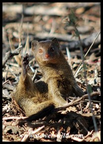 """Is this how mongooses give a """"high 5""""?"""