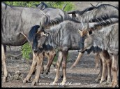 The latest trend in wildebeest hairstyles