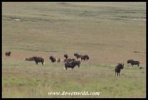 Black Wildebeest herd