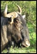 Blue Wildebeest bull close-up