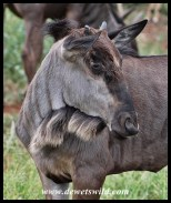 Blue Wildebeest calf close-up