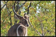 Waterbuck with an odd sense of hornstyle
