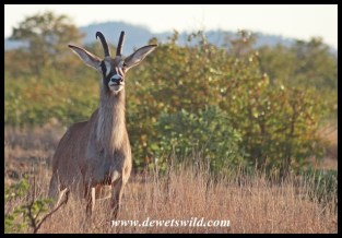 Roan Antelope Cow along the Nshawu marsh in Kruger Park