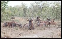 Tsessebe along the Nshawu Marsh
