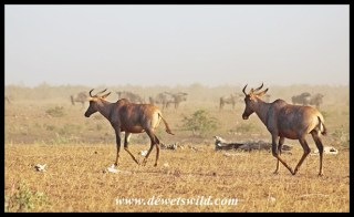 Tinhongonyeni in Kruger National Park is a reliable spot to find Tsessebe
