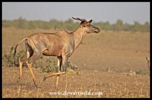 Posturing Tsessebe Bull at Tinhongonyeni in the Kruger Park