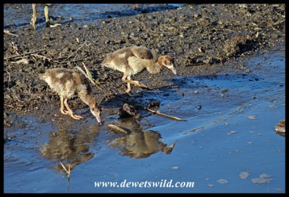 Egyptian Geese goslings at the Sweni Hide