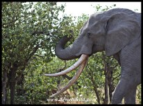 Another impressive Tusker