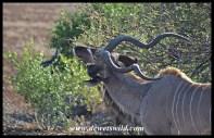 Kudu bull with an oxpecker irritation