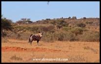 Gemsbok in thornveld