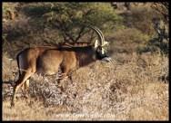 Roan Antelope bull in Mokala National Park
