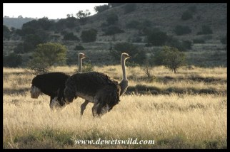 Ostrich couple in the Karoo
