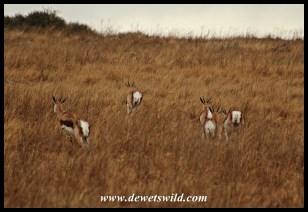 Springbok on the run through wet grass