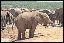 Elephants everywhere you look (Hapoor)