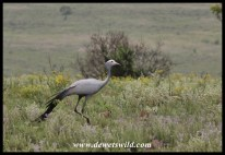 Blue Crane in Ithala Game Reserve