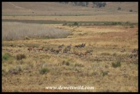 Mixed herds congregating in the vlei