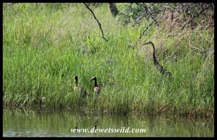 Purple Heron, slowly approaching a nesting pair of Whistling Ducks
