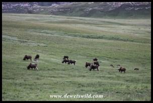 Black wildebeest herd on a plateau