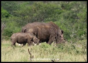 White Rhino cow and calf